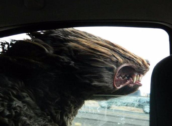 chien qui sort tete voiture humour drole insolite