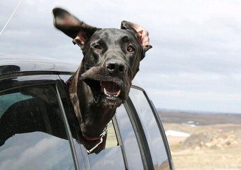 chien véhicule voiture tete dehors insolite humour