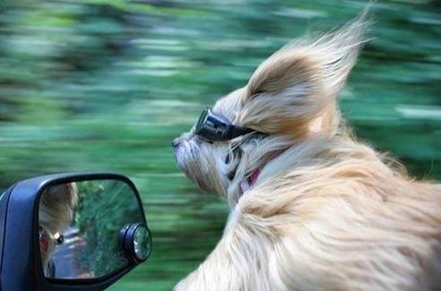 humour voiture animaux chien fenetre